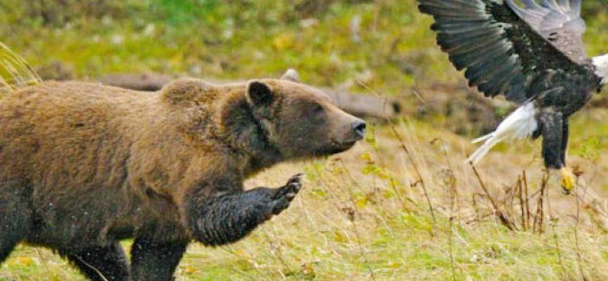 Quando hai a che fare con un orso, la Hybris è suicida