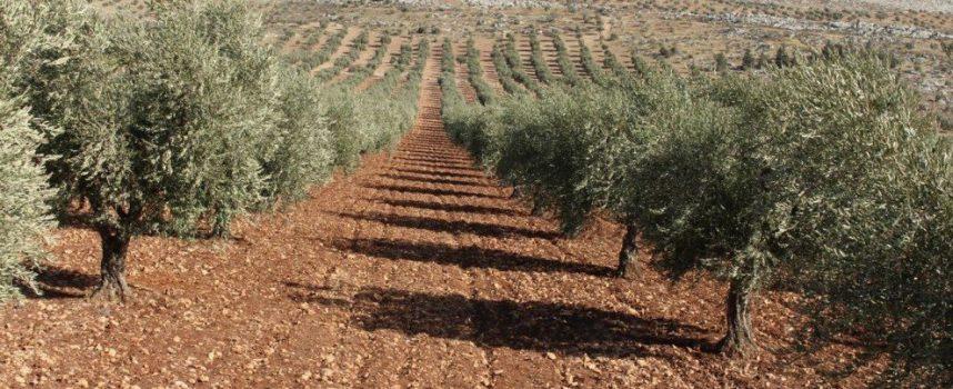 L'olio d'oliva, una vittima siriana dell'economia di guerra