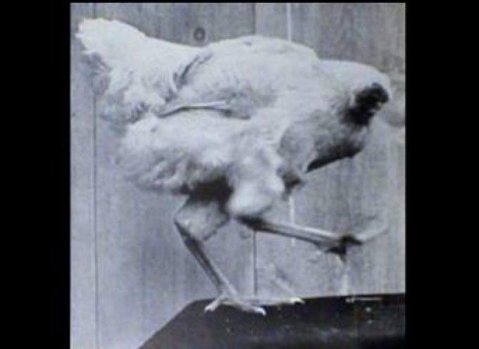 Il pollo senza testa e l'orso